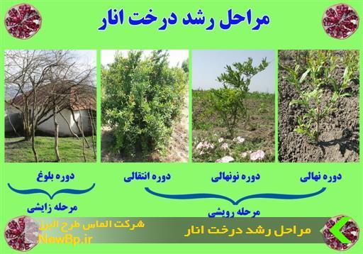 مراحل رشد درخت انار