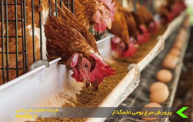 پرورش مرغ بومی تخمگذار