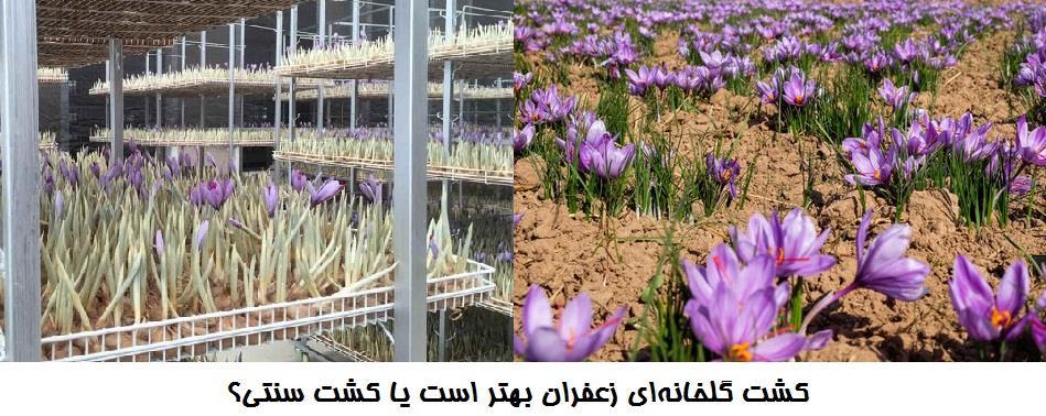 کشت گلخانهای زعفران بهتر است یا کشت سنتی