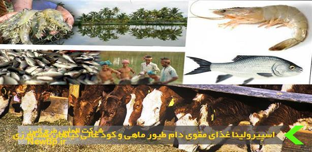 اسپیرولینا غذای مقوی دام طیور ماهی و کود عالی گیاهان کشاورزی