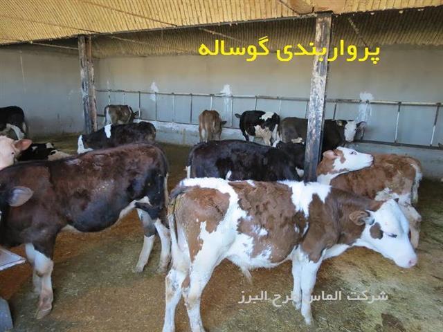 برآورد سود پرواربندی گوساله