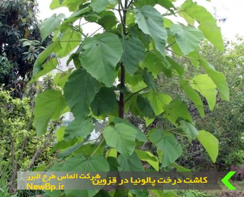 کاشت درخت پالونیا در قزوین