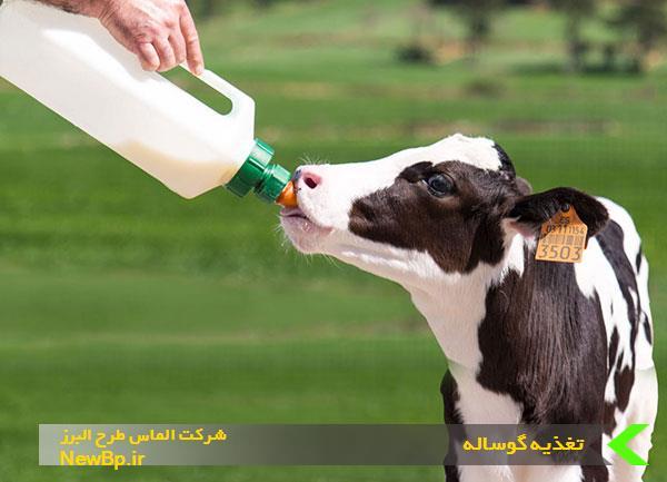 تغذیه گوساله بعد از شیرگیری
