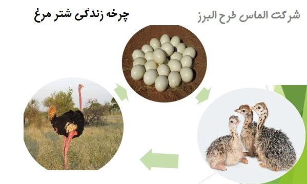 چرخه زندگی شترمرغ