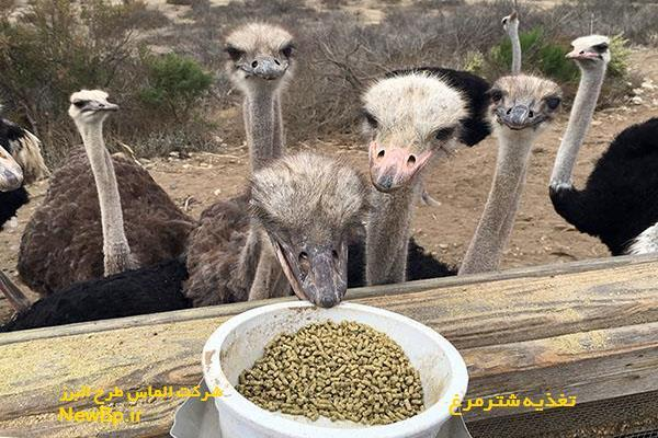 تغذیه شترمرغ