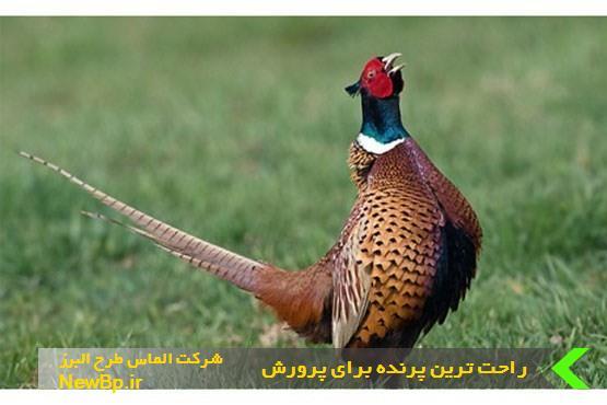 راحت ترین پرنده برای پرورش