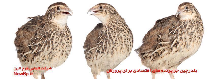 اقتصادی ترین پرنده برای پرورش