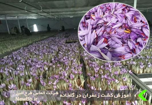 اموزش کشت زعفران در گلخانه