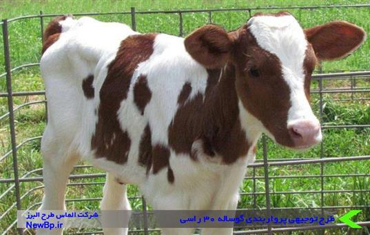 طرح توجیهی پرواربندی گوساله 30 راسی