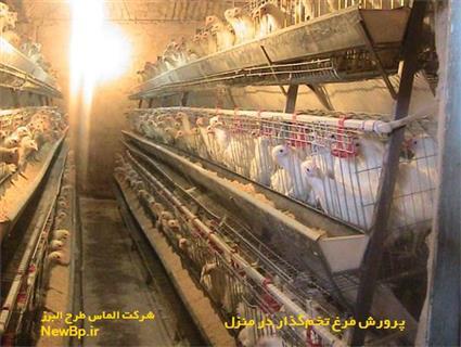 پرورش مرغ تخمگذار در منزل