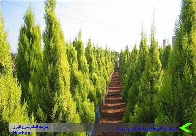 درختان مقاوم به کمآبی و سرما
