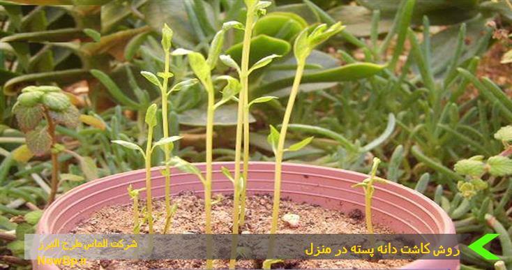 روش کاشت دانه پسته در منزل