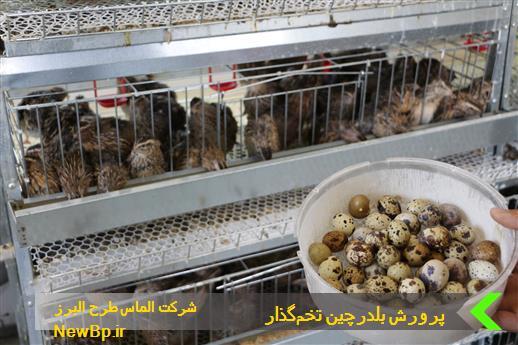 پرورش بلدرچین تخمگذار