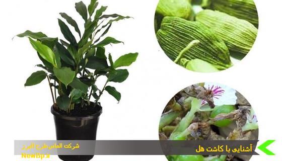کاشت هل سبز