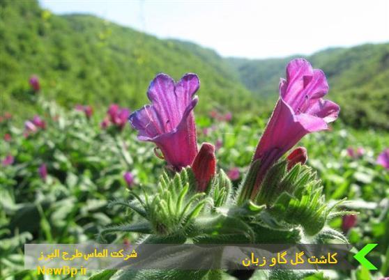 درامد کاشت گل گاو زبان