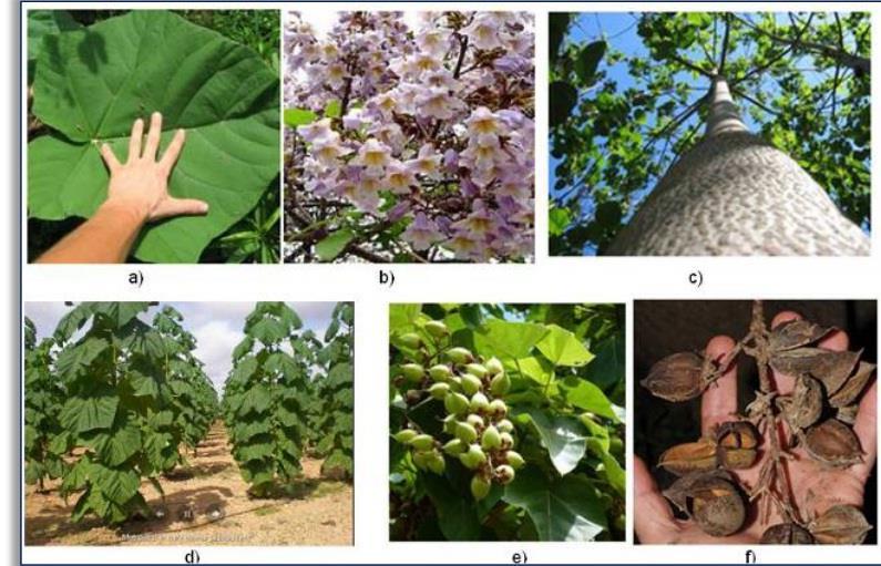 طرح توجیهی کاشت درخت پالونیا pdf