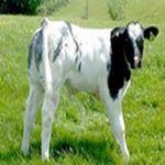 طرح توجیهی و کارافرینی پرواربندی گوساله 95- طرح توجیهی گاوداری گوشتی
