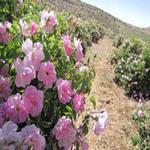 احداث باغ گل محمدی