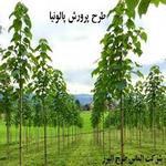 طرح پرورش پالونیا (پائولونیا) سریع الرشدترین درخت دنیا - آیا پالونیا سود آور است؟