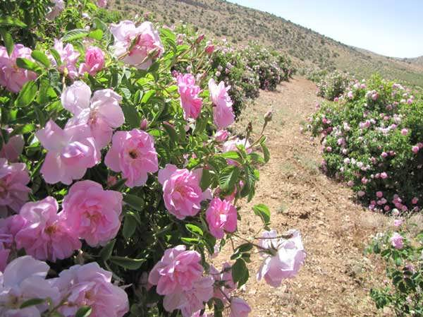 طرح توجیهی احداث باغ گل محمدی